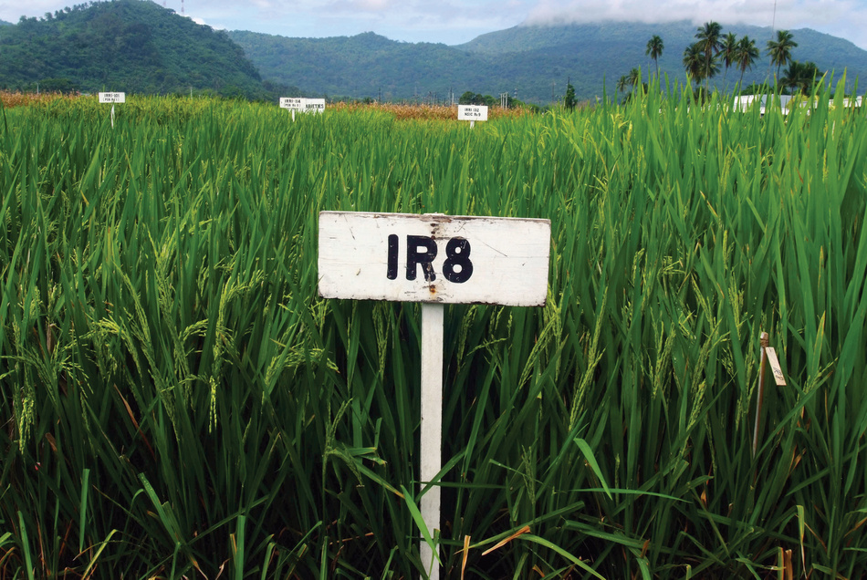 IR8, a genetic cross between two strains of rice from Indonesia and China, was the first high-yielding rice variety successfully developed by IRRI after the collaboration's establishment in the 1960s.  © IRRI/International Rice Research Institute.